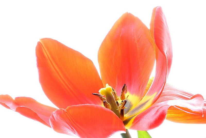 4250-Floppy Red Tulip Master