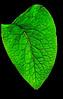 0543-Curved Leaf-Master