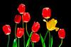 Tulips-Master