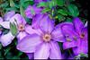 Purple Bloom-v2-Clematis