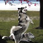 Syracuse New York Bridal Portraits, Ipstate New York Bridal Portraits with Siberian Huskies