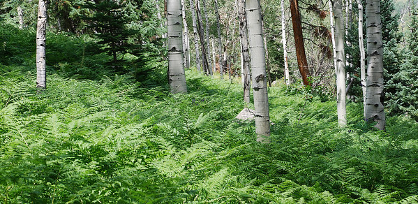 Ferns alpong hiking path near Edwards, Colorado, 2009