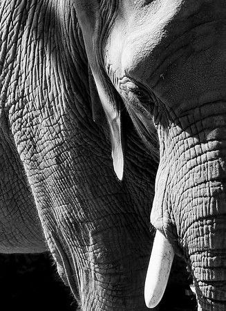 Elephant - image size: 8X11 (order 8X12 and crop)