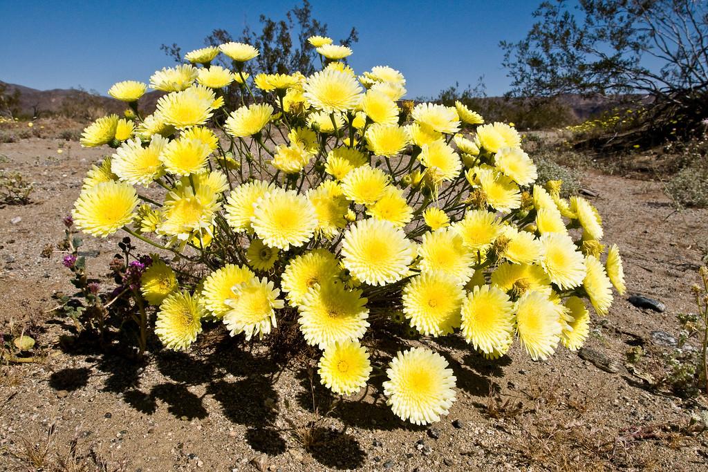 Desert Dandelion (Malacothrix glabrata)