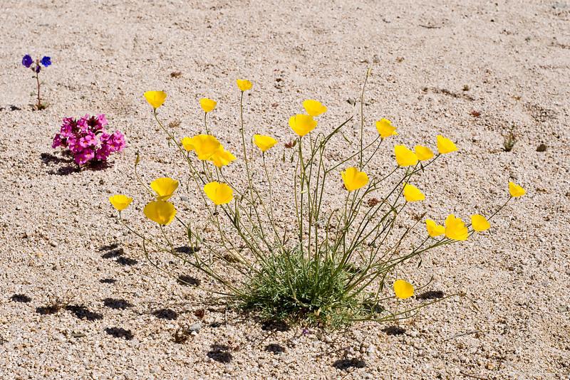 Mojave Poppy (Eschsholzia glyptosperma), Monkey Flower (Mimulus bigelovii) and Canterbury Bells (Phacelia campularia), Joshua Tree NP, CA