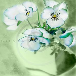 Spring Violets Series 1