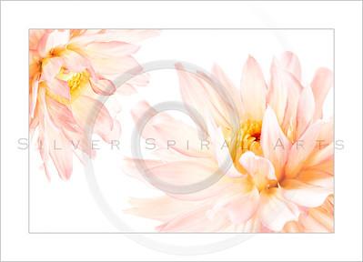 Spring Pink Dahlias Series 1