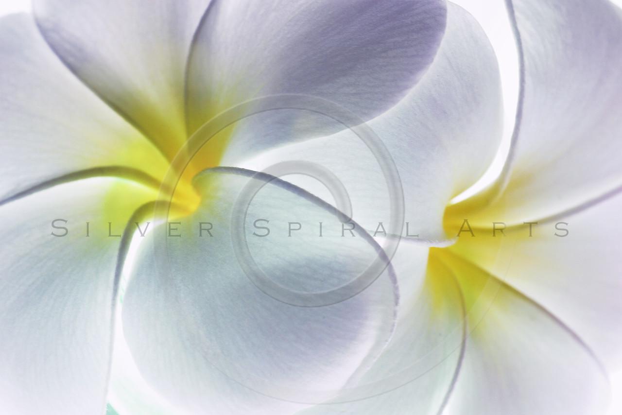 Plumeria White Frangipani Tropical Hawaiian Flower Floral Fine Art