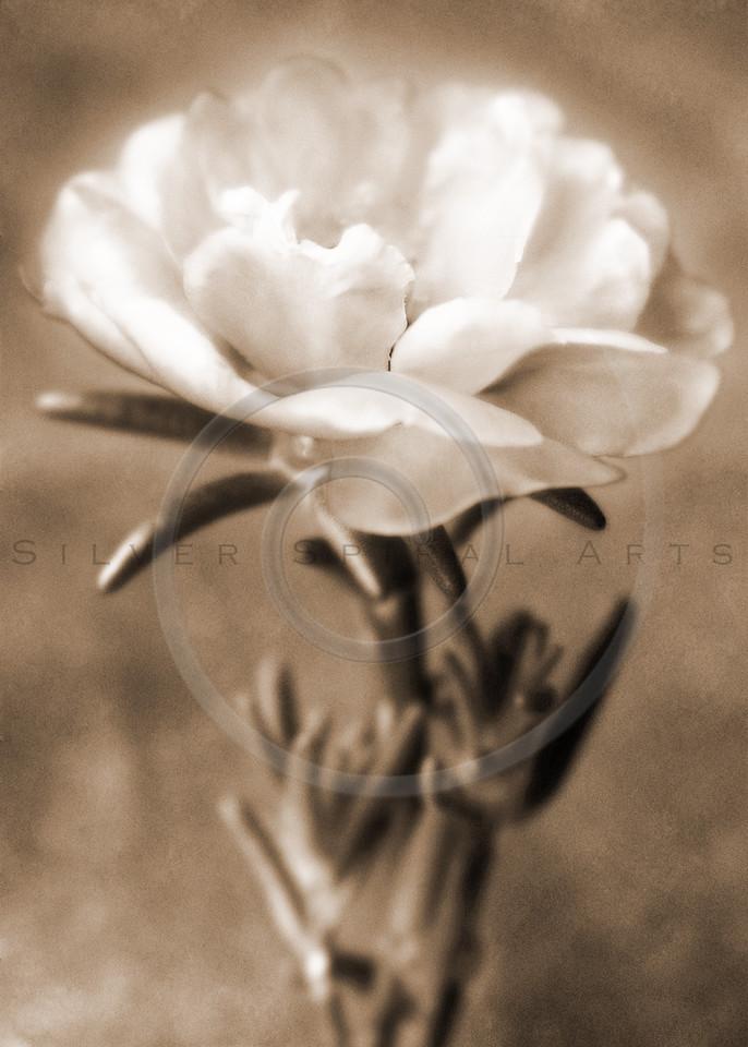 Sepia White Flower Floral Fine Art