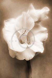 Gladiolus Sepia White Flower Floral Fine Art