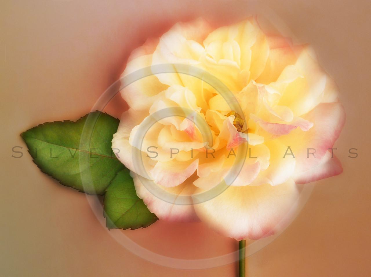 Rose Flower Peach White Garden Rose Floral Floral Fine Art