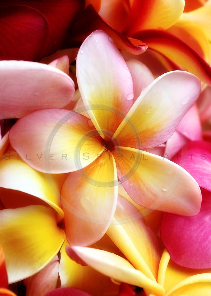 Plumeria Pink White Frangipani Tropical Hawaiian Flower Floral Fine Art