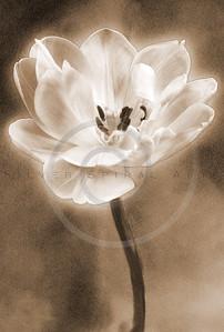 Sepia White Tulip Flower Floral Fine Art