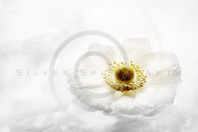 Serene Anemone Series 4