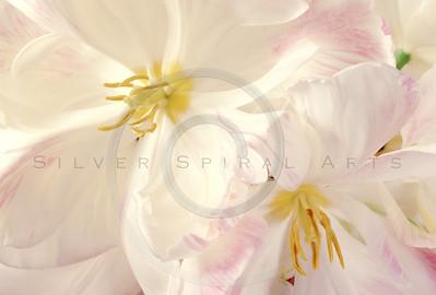Sun Tulips