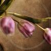 Vintage Tulip Series 2