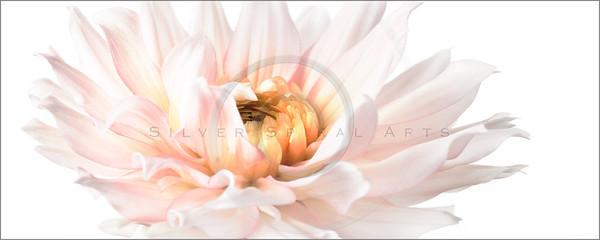 Spring Pink Dahlias Series 4