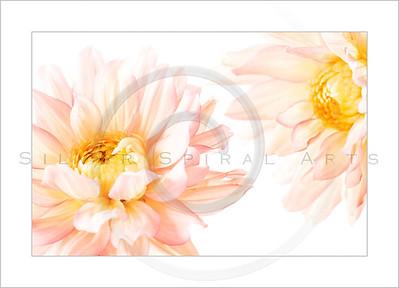 Spring Pink Dahlias Series 2