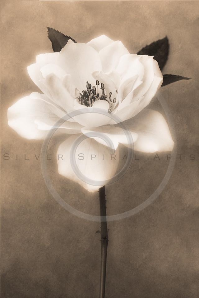 Sepia White Garden Rose Flower Floral Fine Art