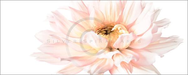 Spring Pink Dahlias Series 3