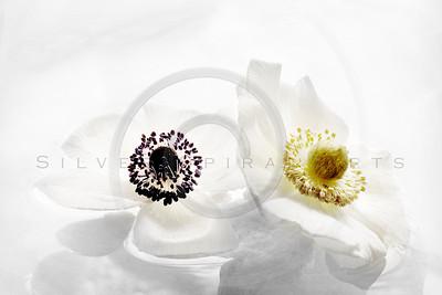 Serene Anemone Series 2