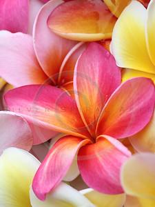 Plumeria Pink Frangipani Tropical Hawaiian Flower Floral Fine Art