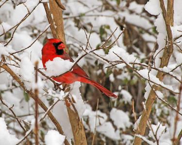 Cardinal - Anderson Co