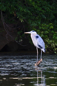Blue Heron on Clinch River