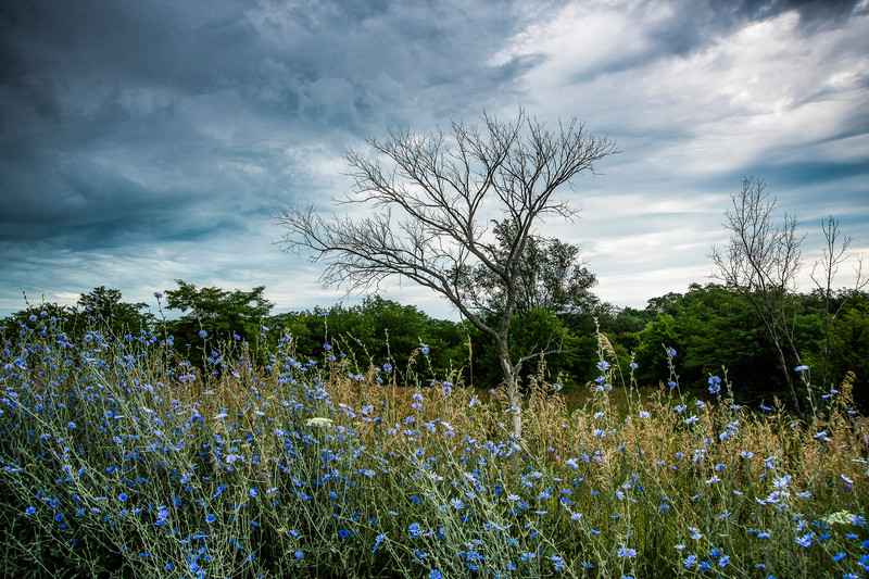Corn Flowers with Approaching Storm
