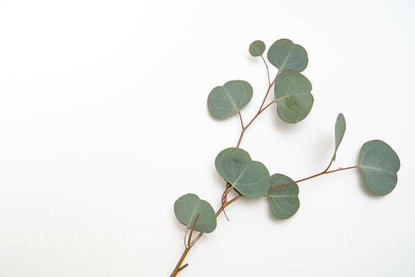 Eucalyptus (7)