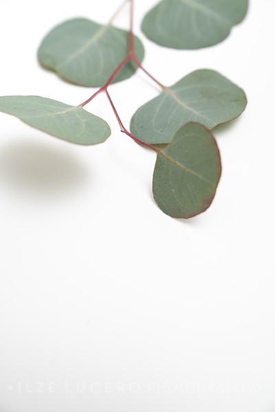 Eucalyptus (6)