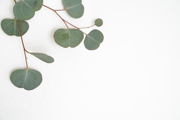 Eucalyptus (8)