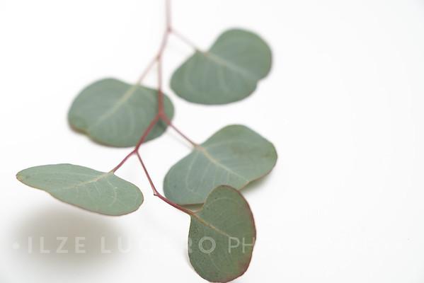 Eucalyptus (5)
