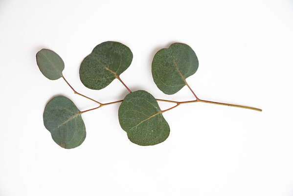 Eucalyptus (13)
