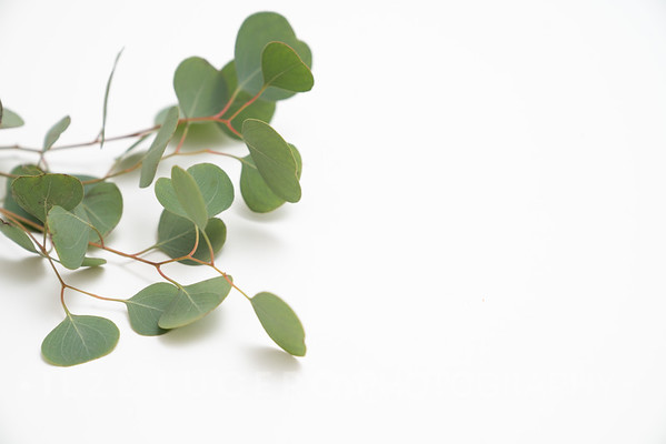 Eucalyptus (11)