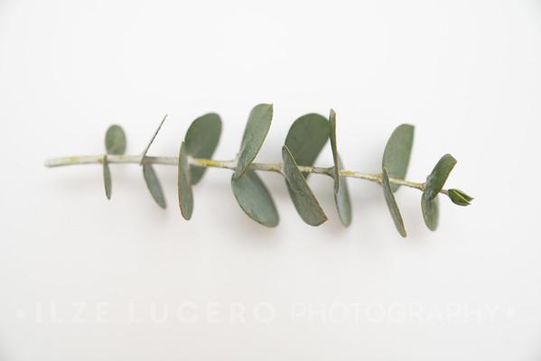 Eucalyptus (10)