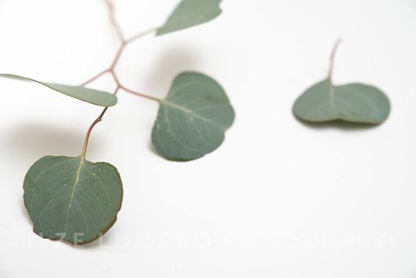 Eucalyptus (4)