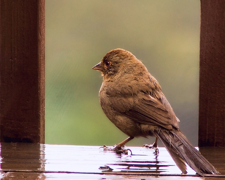 California Towhee in the rain