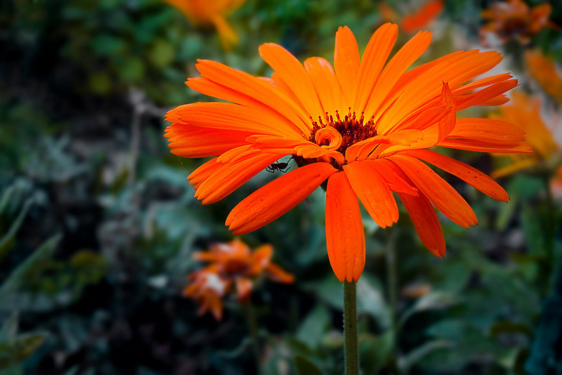 """<p>Calendula, Pot Marigold - winter annual </p> <p>  A Mediterranean native that provides sure easy color from late fall through spring in mild winter areas. It will reseed itself to come back year after year. Although it does well in pots, the common name is actually derived from the plant's earlier use as a """"pot herb"""" - a vegetable to be used in the cooking pot. It has long, narrow leaves, slightly sticky and aromatic.</p>  <p>On this January morning many of the flowers were beaten down by the rain from the previous night. This one caught my eye as it was one of the few to catch the morning light.</p>"""