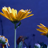 Daisy In Blue<br /> See others like this in Category: Nature/Flowers and Plants/Daisies