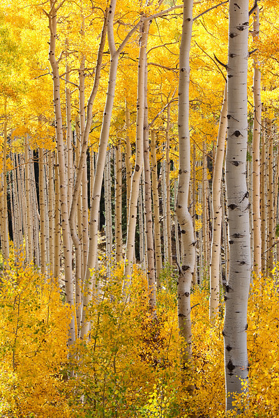 Aspen grove, Dixie National Forest, southern Utah