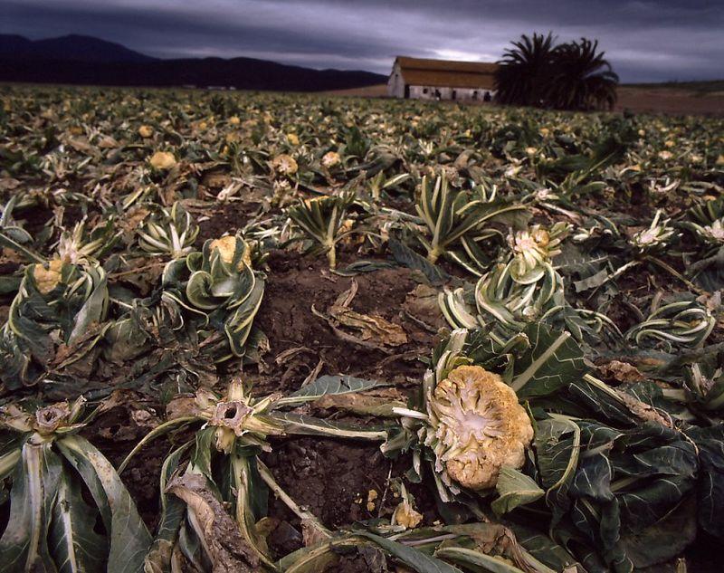 Foo2  Cauliflower Wars, Salinas Valley, California