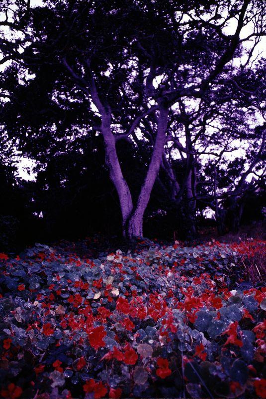 F014  Nasturtiums, Monterey, California