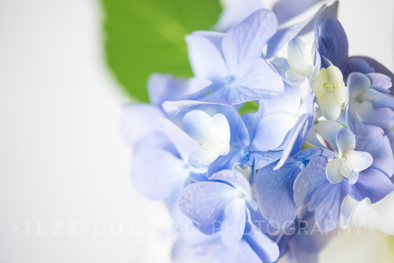 Lily Hydrangea (13)