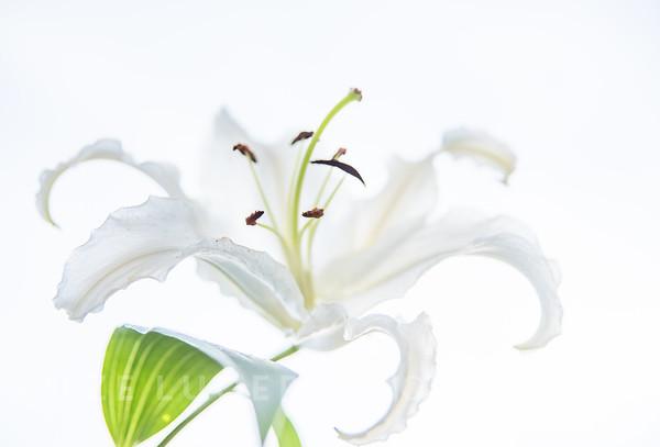 Lily Hydrangea (1)