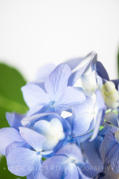 Lily Hydrangea (14)