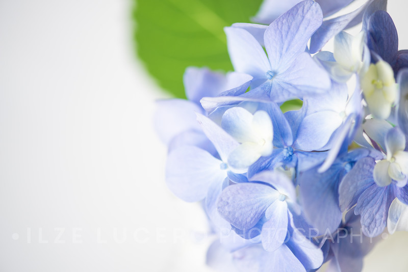 Lily Hydrangea (12)