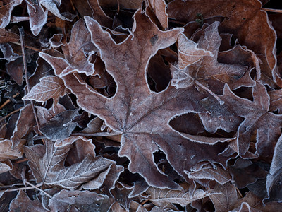 Big Leaf Maple leaves with frost, Seattle, Washington. Xmas card 2011 alt.