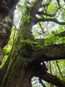 Bigleaf maple and ferns, Discovery Park, Seattle, Washington, 2014.