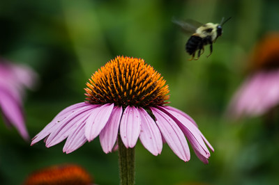 Cone flower & Bumble
